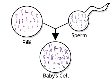 23 chromosomes from the egg, and 23 chromosomes from the sperm