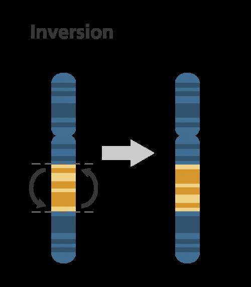 Chromosomal inversion