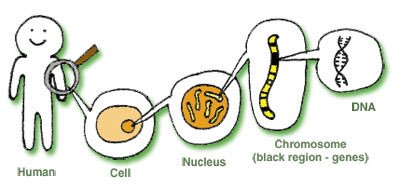 One chromosome