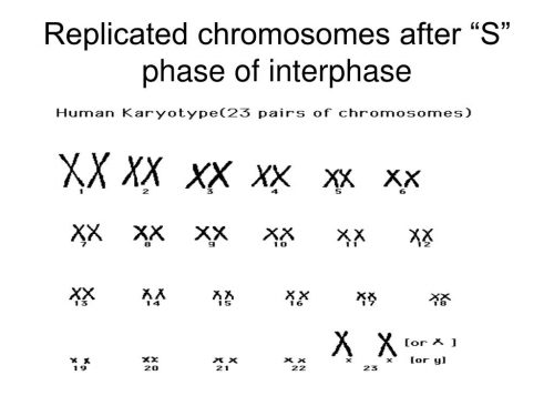 Karyotype of an interphase-stage cell