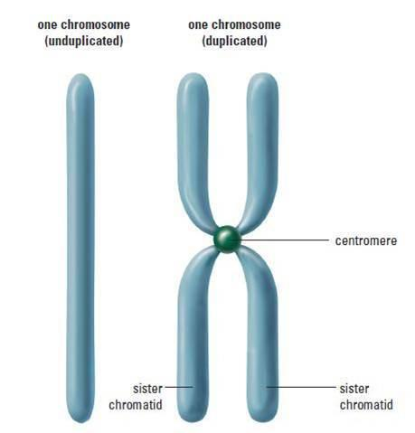 Image of a duplicated chromosome