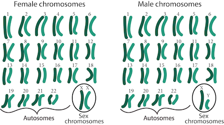 Difference between male and female cells: the x and y chromosomes